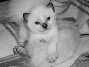 продам симского котенка