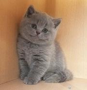 Продается котенок британской породы