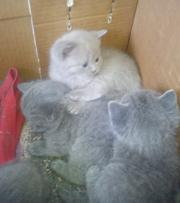 продам британских котят голубого окраса с документами