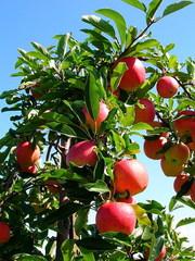 Продаем яблоки из Молдавии