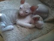 Продам котят породы донской сфинкс,  с документами. Отец - Интерчемпион