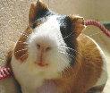 отдам или поменяю две умных морских свинок на любого кролика
